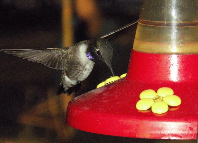 hummingbird purple neck